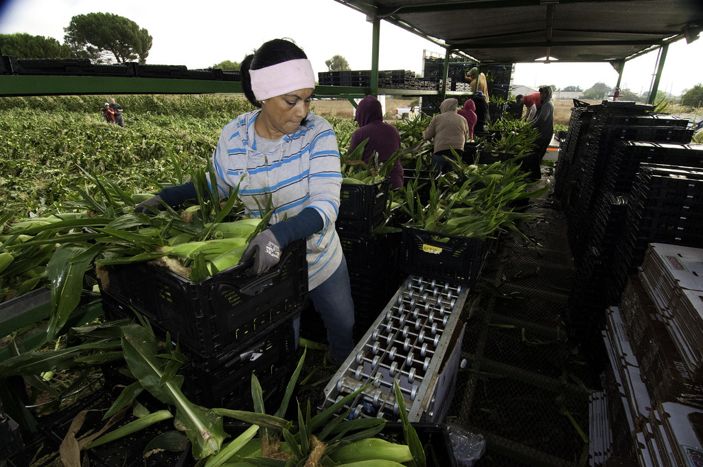 Migrant workers harvest corn on Uesugi Farms in Gilroy, CA, USDA photo by Bob Nichols